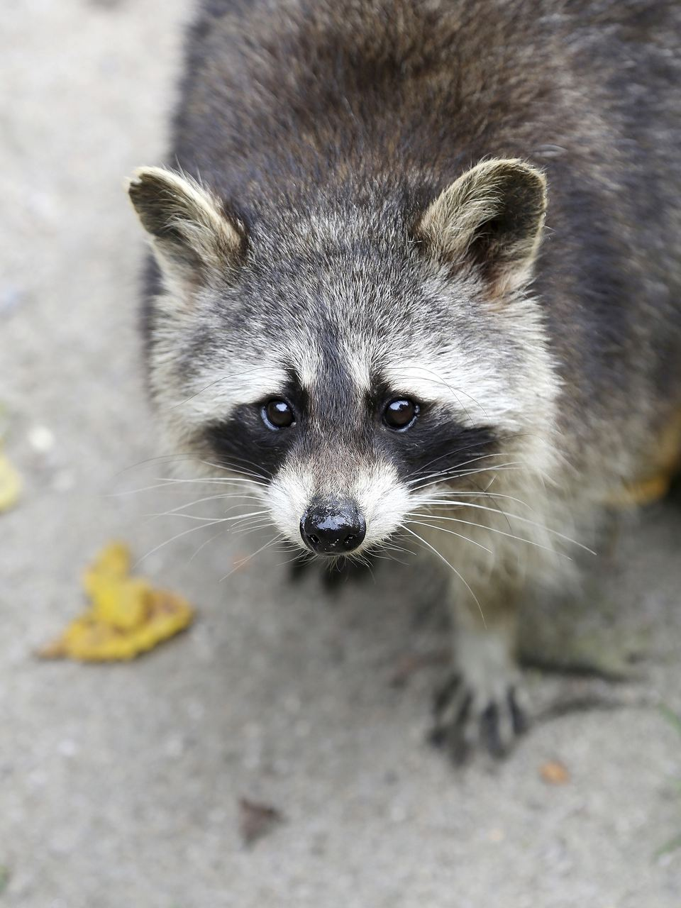 North American raccoon outside