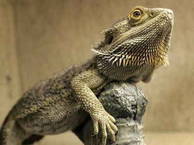 11 Types of Bearded Dragon Morphs