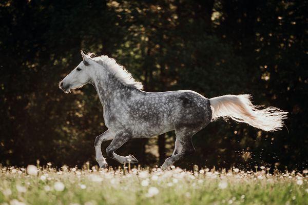 Dappled grey stallion cantering across a field
