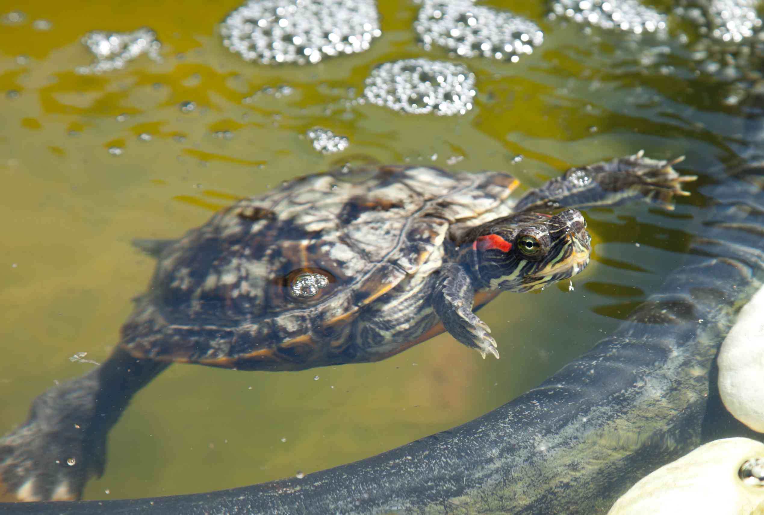 Red-eared slider in a pond