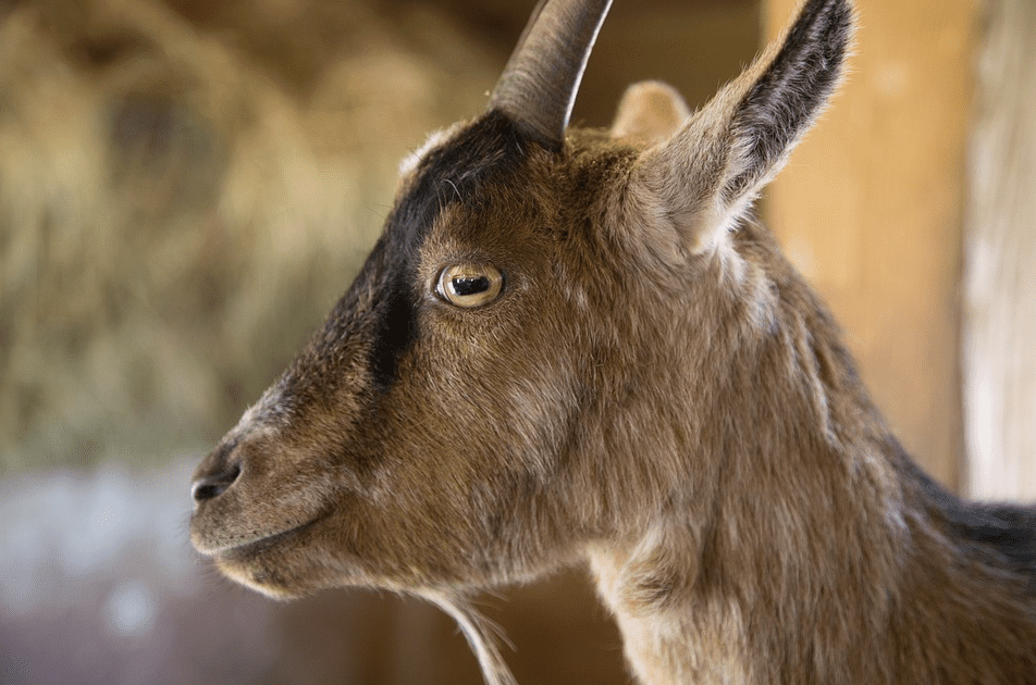 Close up of a goat's eye