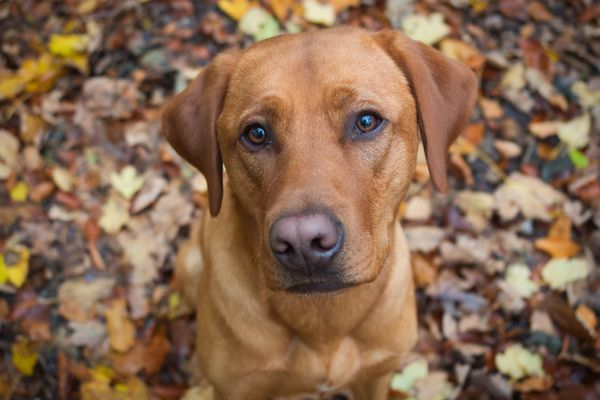 Fox red Labrador sitting in fall leaves