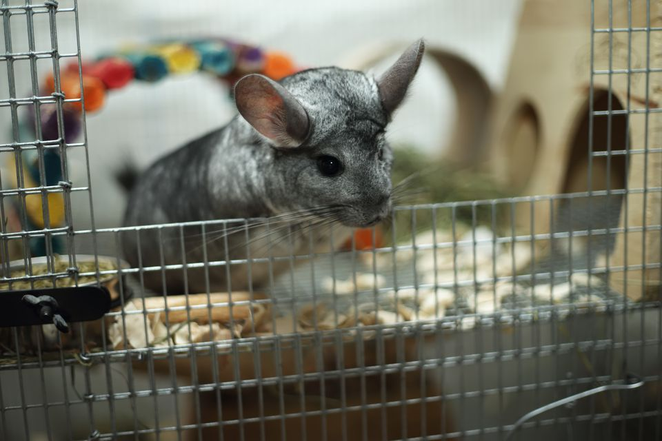 Chinchilla en jaula