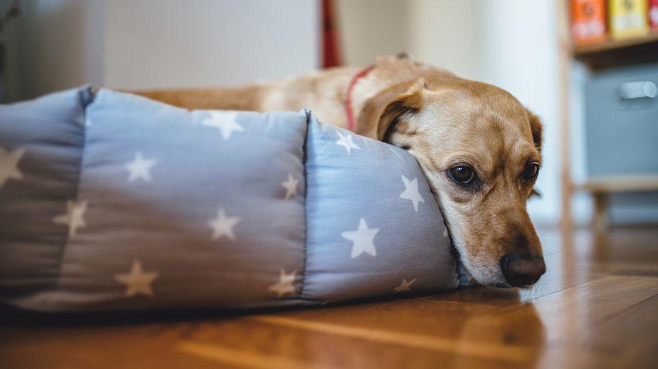 Sad older dog lying down in bed.