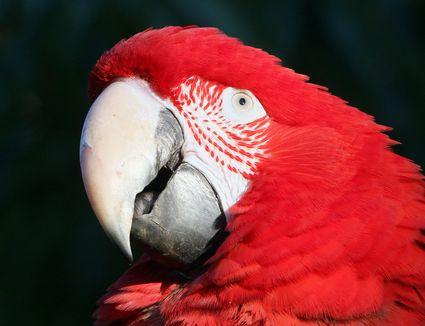 Macaw bird eye pinning