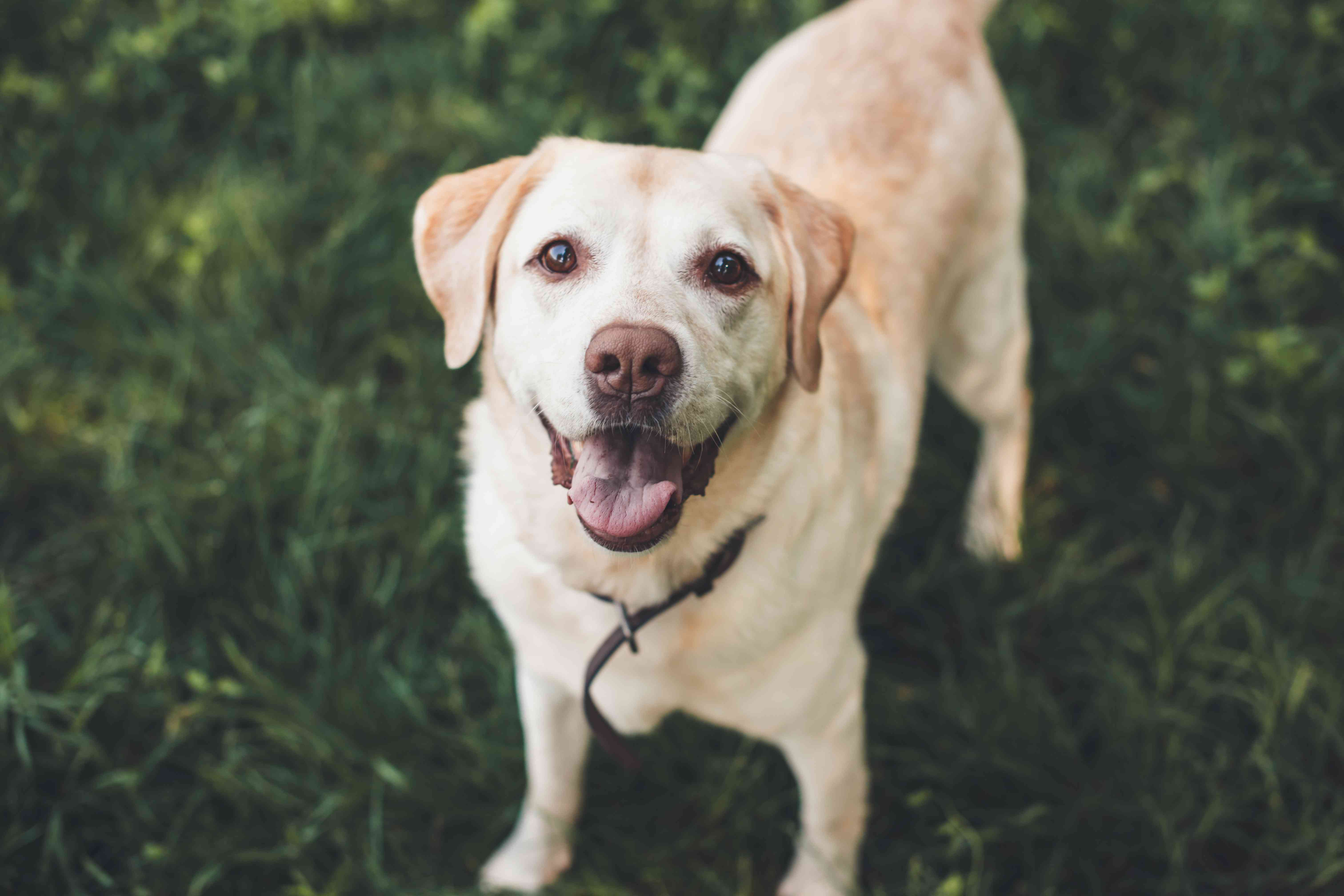 Upper view photo of a labrador looking up at camera waiting for something in a park on grass