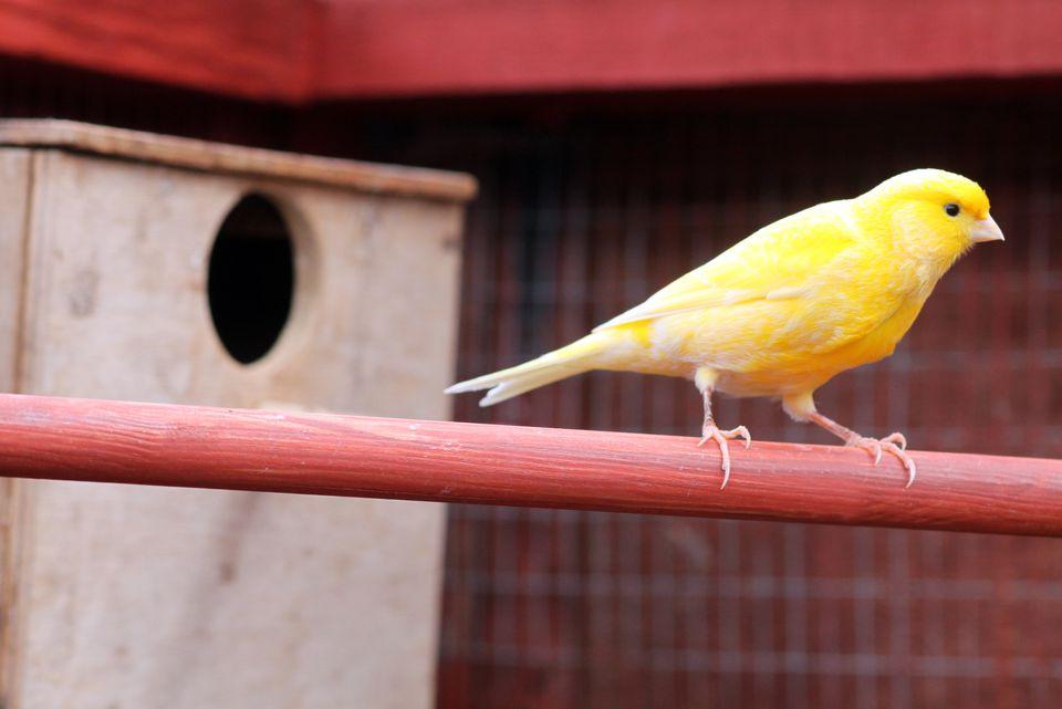 Canario amarillo y blanco