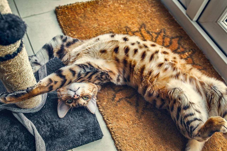 Bengal cat on back.