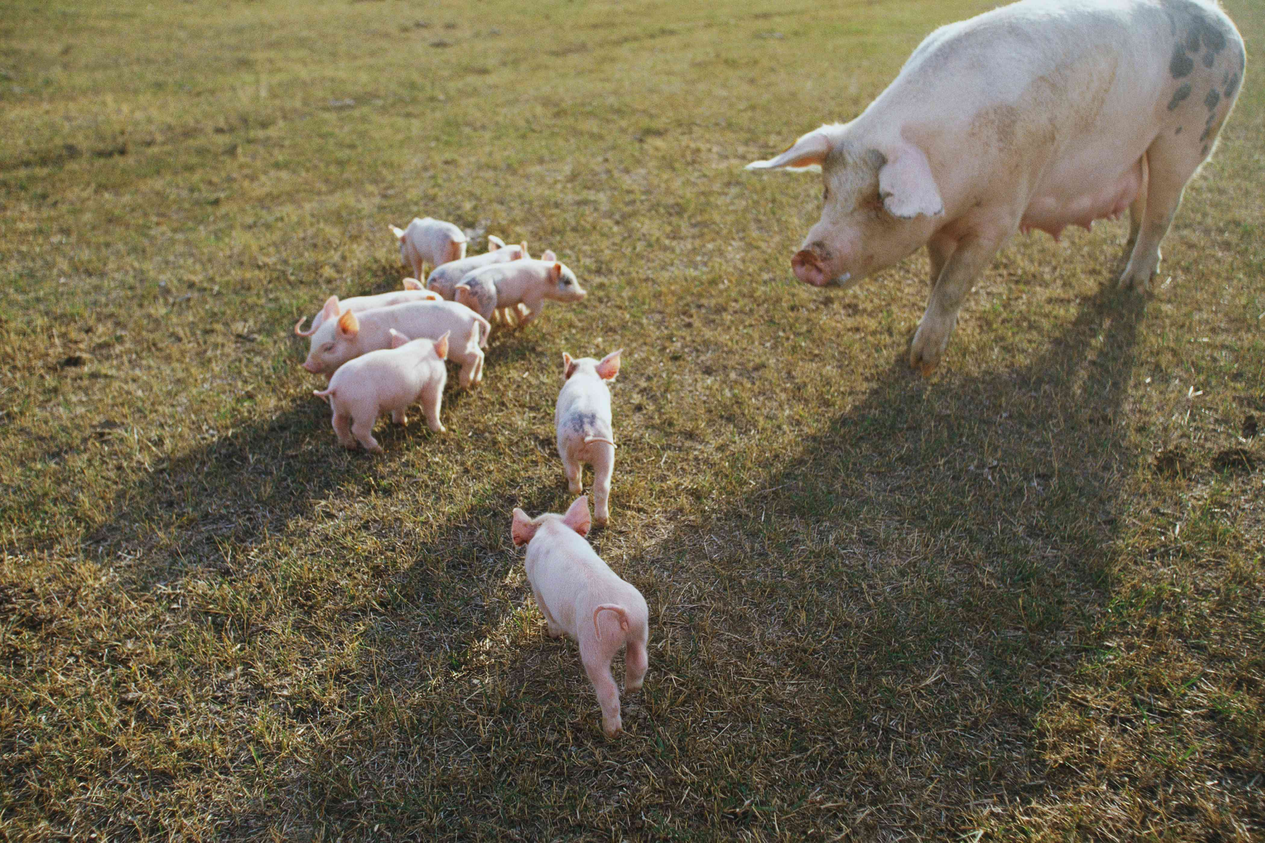 Sow watching piglets