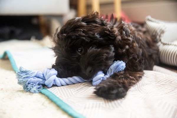 Brown puppy chewing on blue knot rope