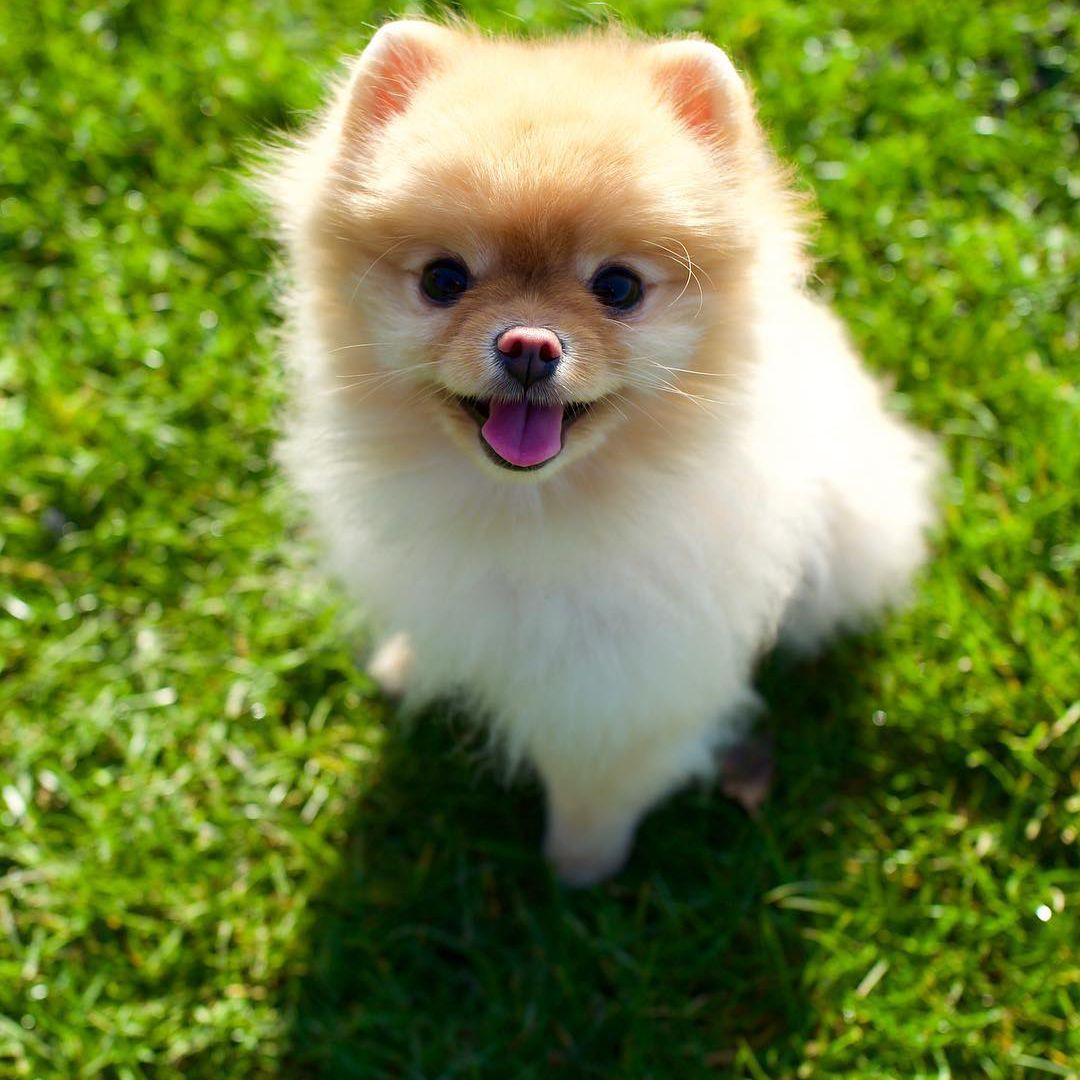 A Pomeranian looking into the camera.
