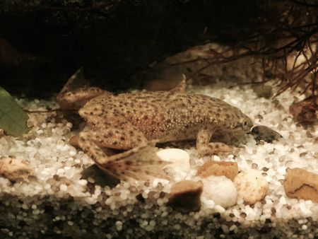 African Dwarf Frog Bloat and Dropsy - Pet Frog Diseases