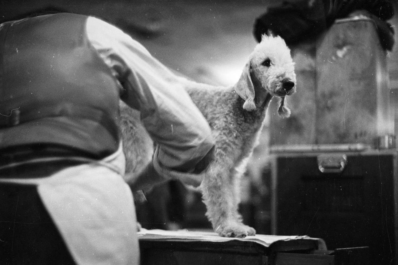 bedlington terrier getting groomed in 1952