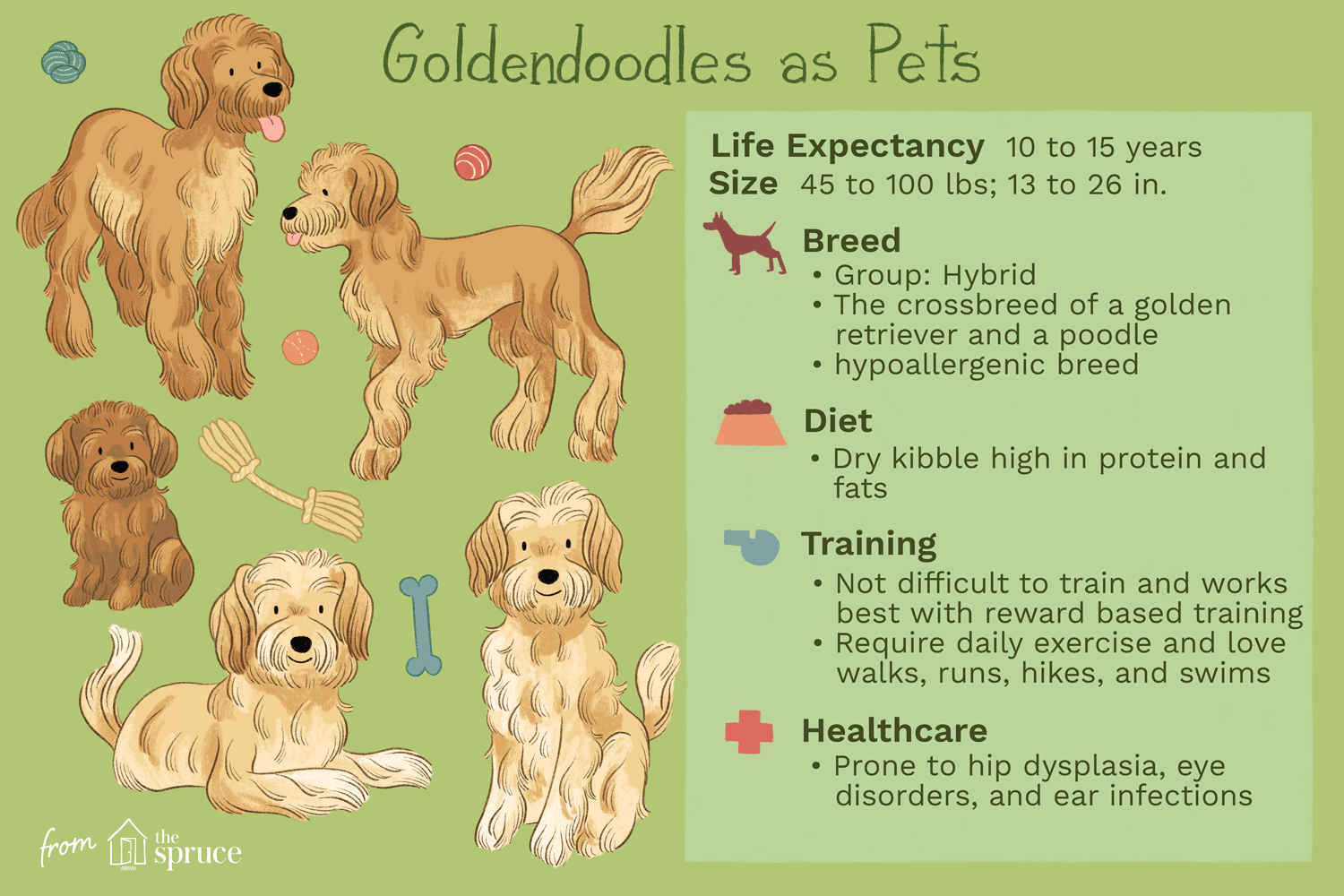 Goldendoodle Full Profile History And Care
