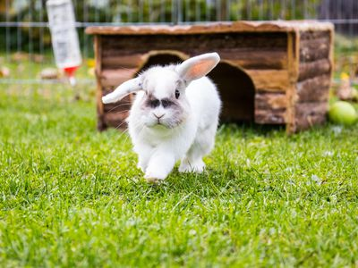 Pregnancy in Rabbits