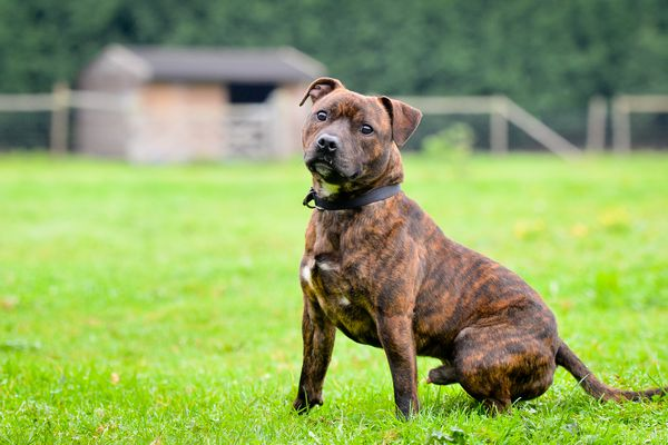 Brindle Staffordshire bull terrier sitting on grass