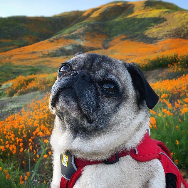 A pug in a red harness looking up over the camera in front of a meadow of flowers.