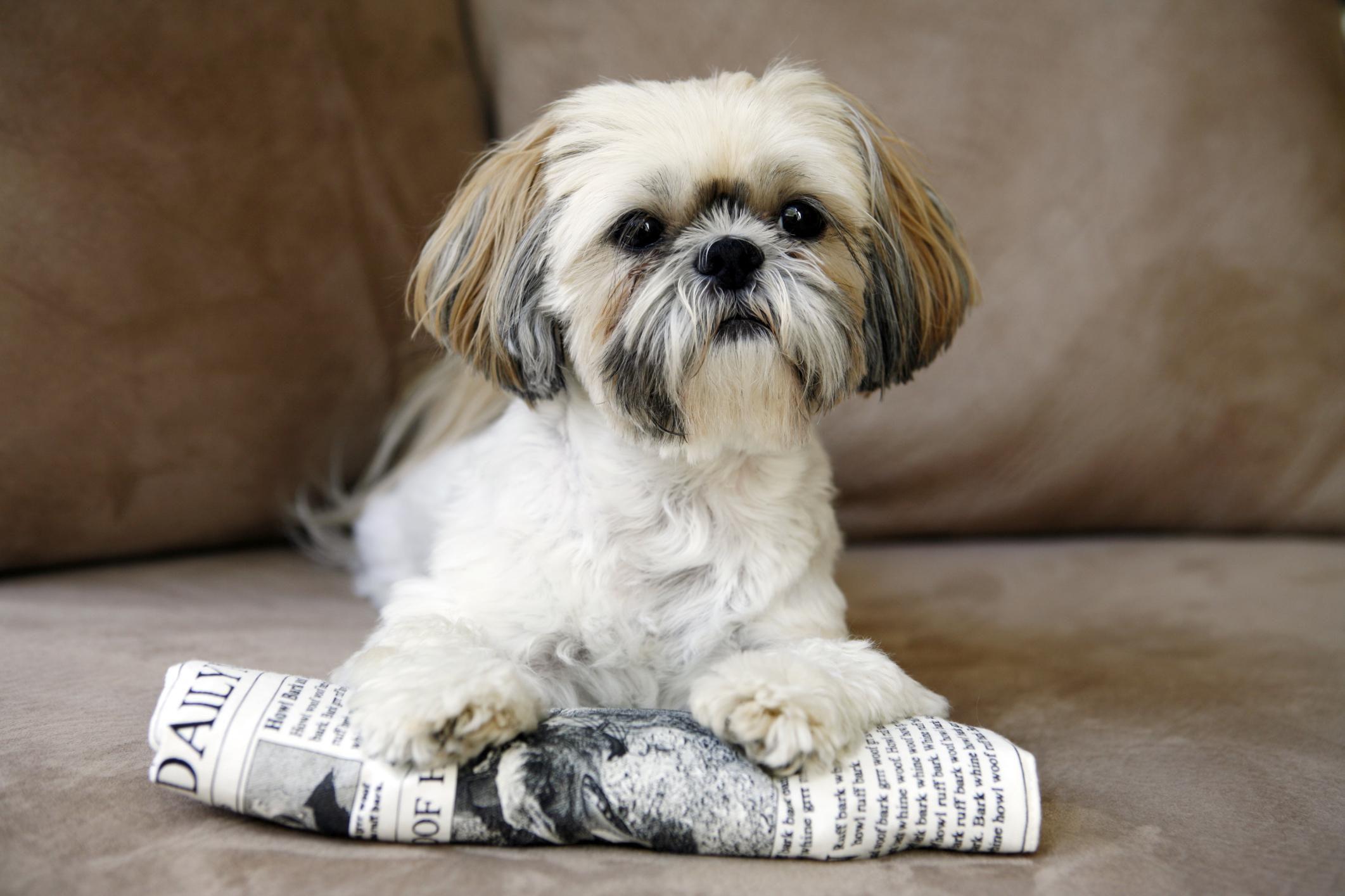 Shih Tzu: Dog Breed Profile