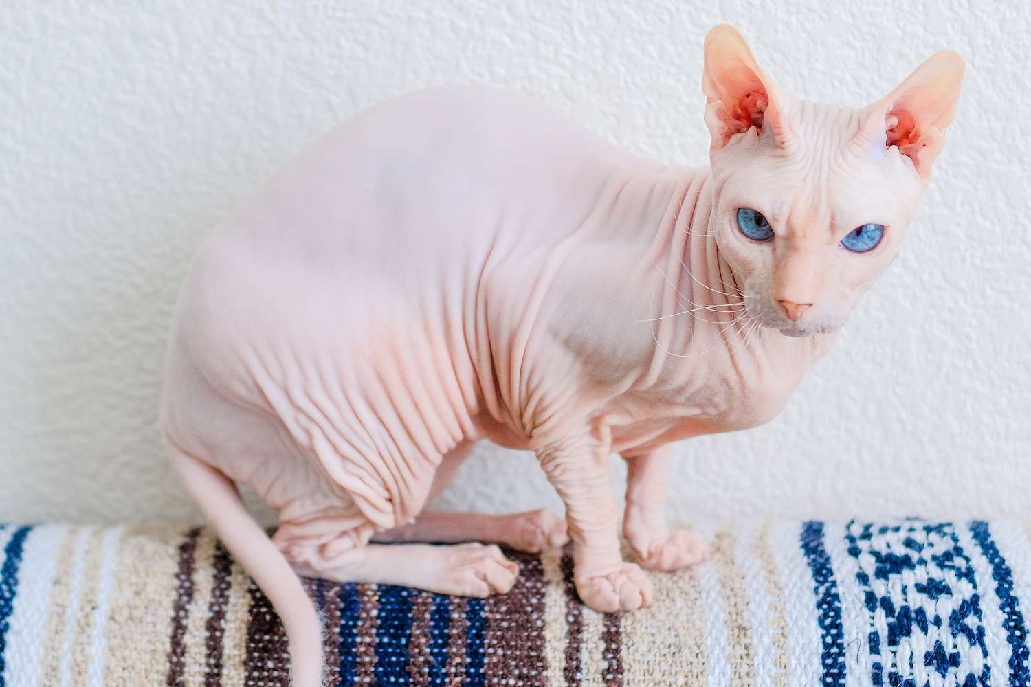 donskoy cat breed on furniture