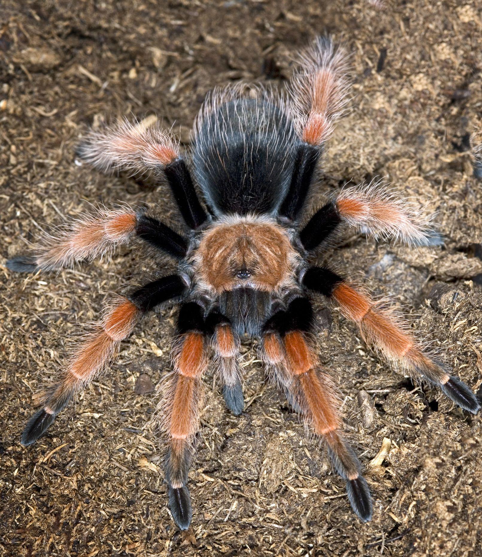 Mexican redleg tarantula on mulch