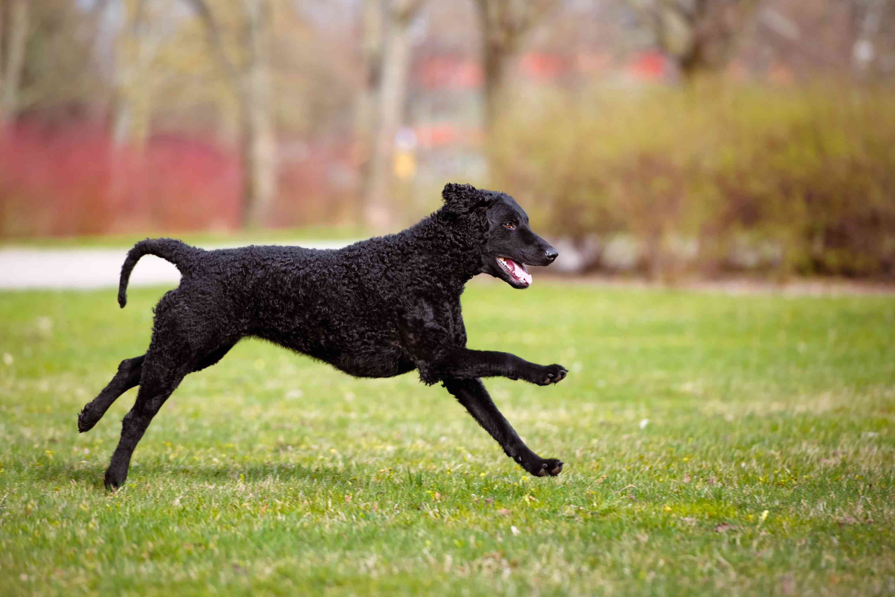 Curly-coated retriever running in field