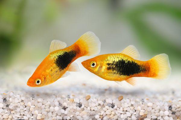 Sunburst tuxedo platy male Xiphophorus variatus tropical aquarium fish