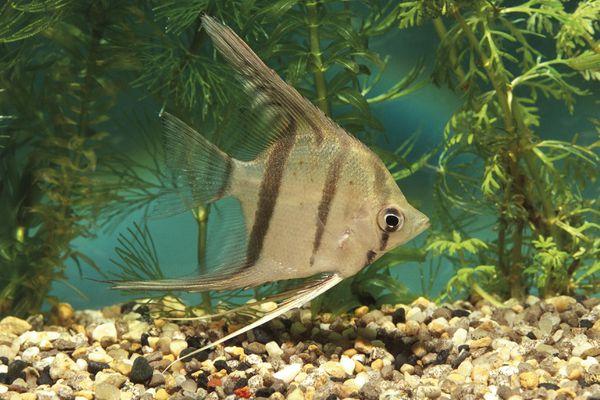 Aquarium fishes, Angelfish (Pterophyllum altum)