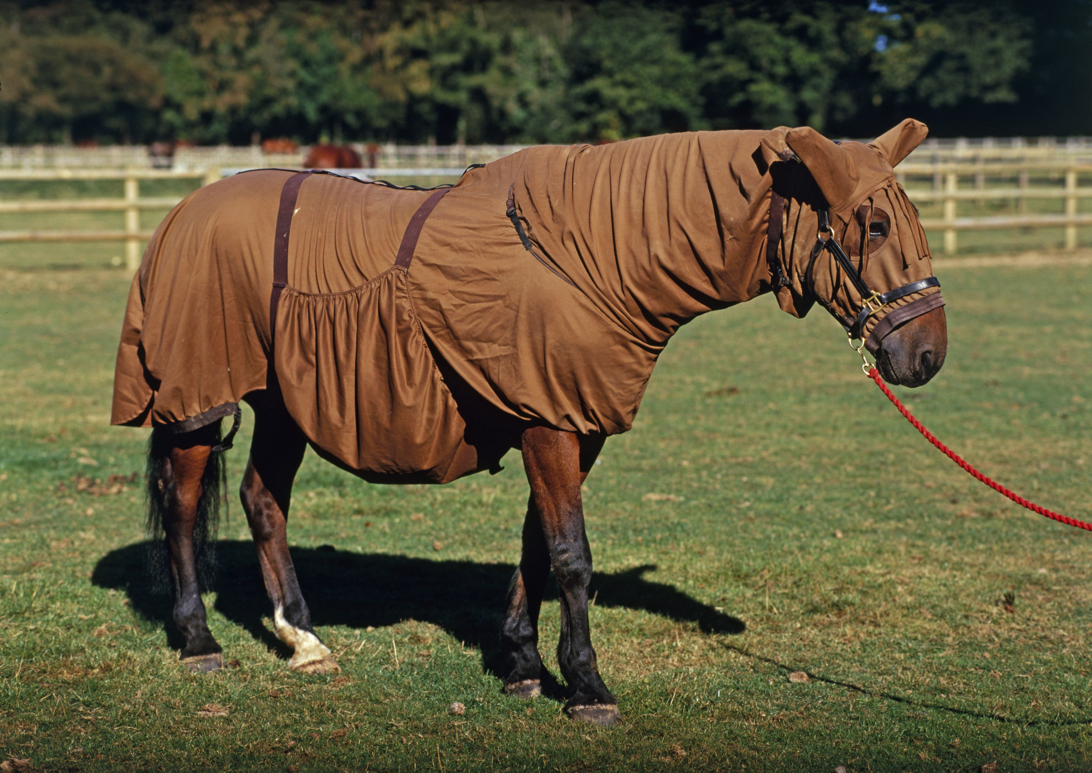 Un pony con alergia a los caballos con una manta Sweet Itch