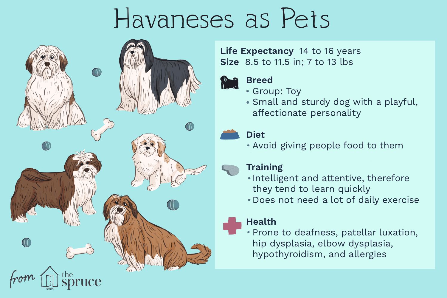 Havanese Full Profile History And Care