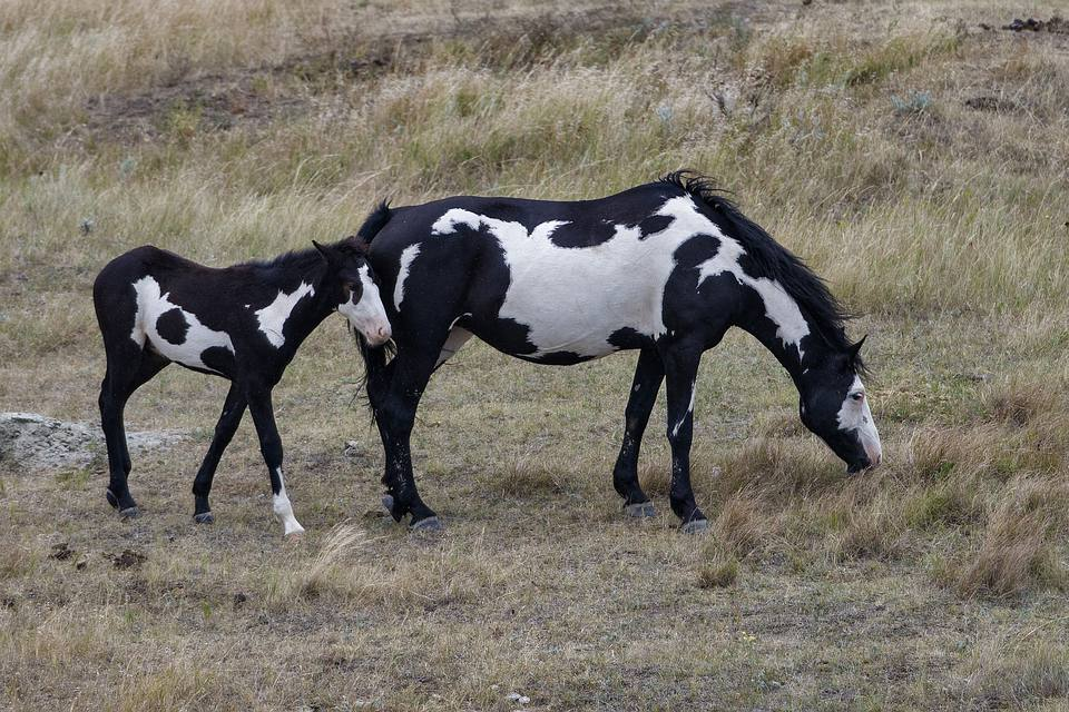 Paint horse mare and foal in a field