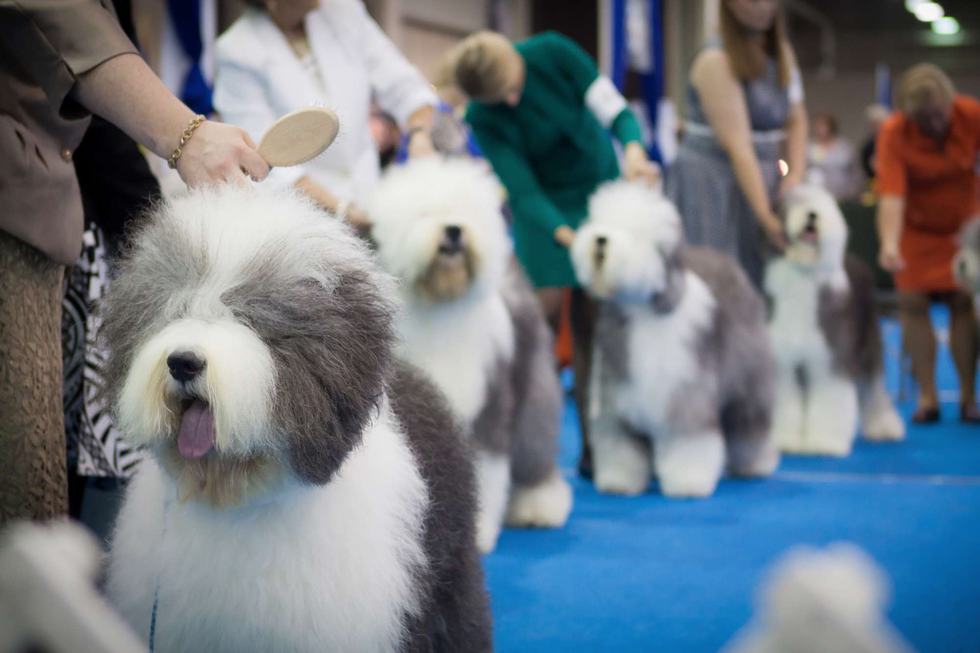 Dogs lined up for competition