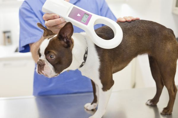 Veterinarian scanning dog for microchip