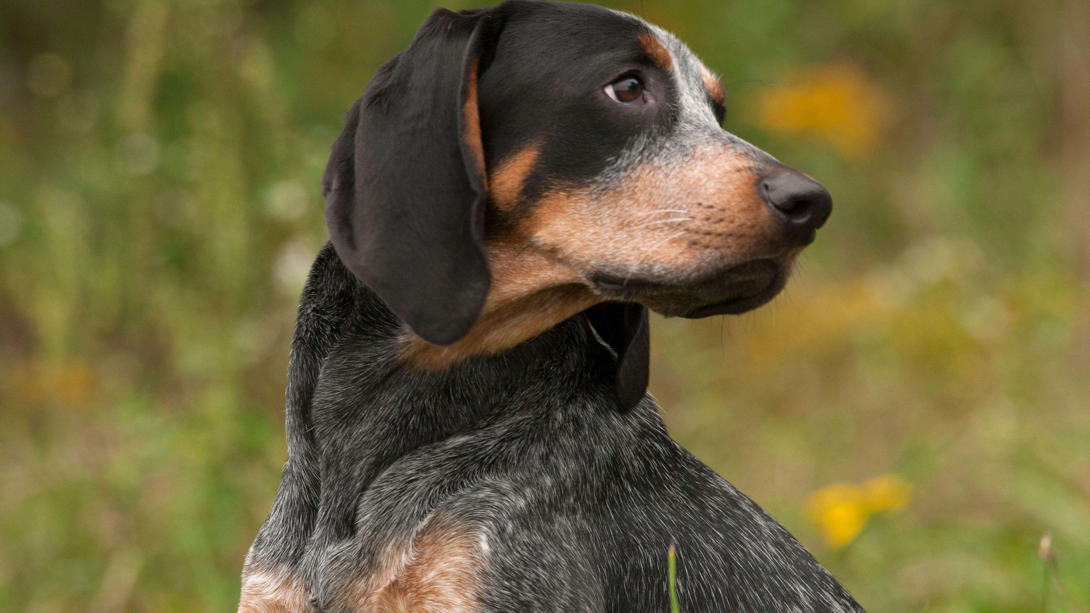 Bluetick Hound Full Profile