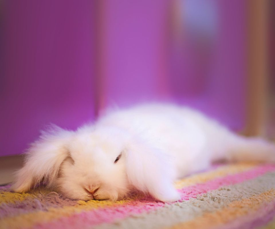 White Angora rabbit laying down