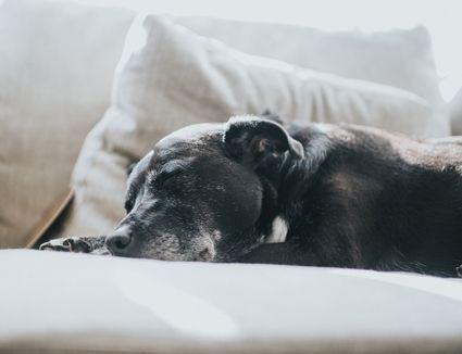 tired black dog