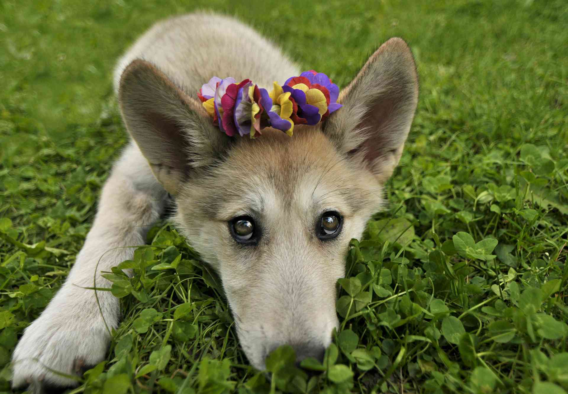 A wolf dog puppy with flowers on her head.