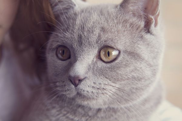 Grey cat looking off to the side