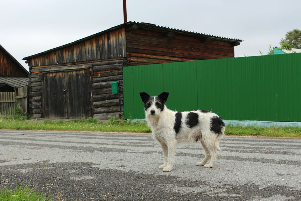 A dog standing in a road