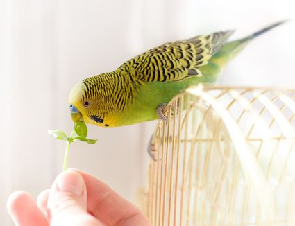 Bird bydgie sits on cage and eats from human hand fresh green gr
