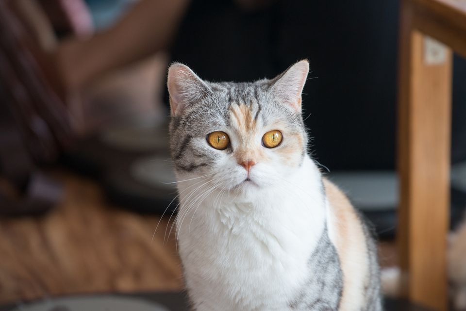An American Wirehair Cat