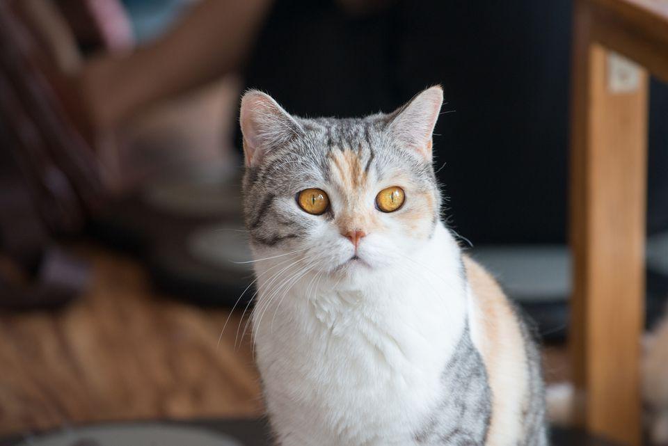 Un gato americano Wirehair