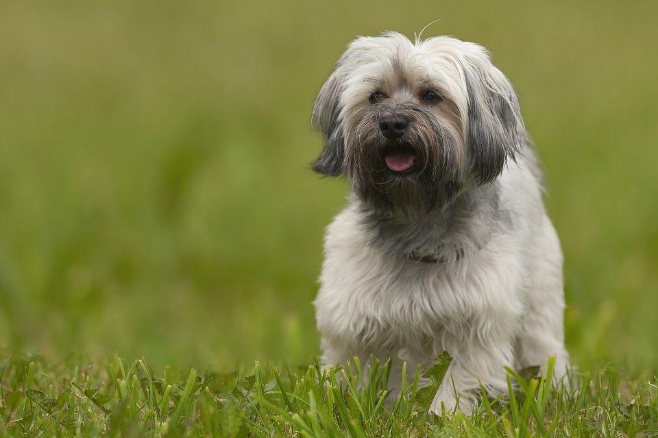 Información de la raza del perro de Havanese