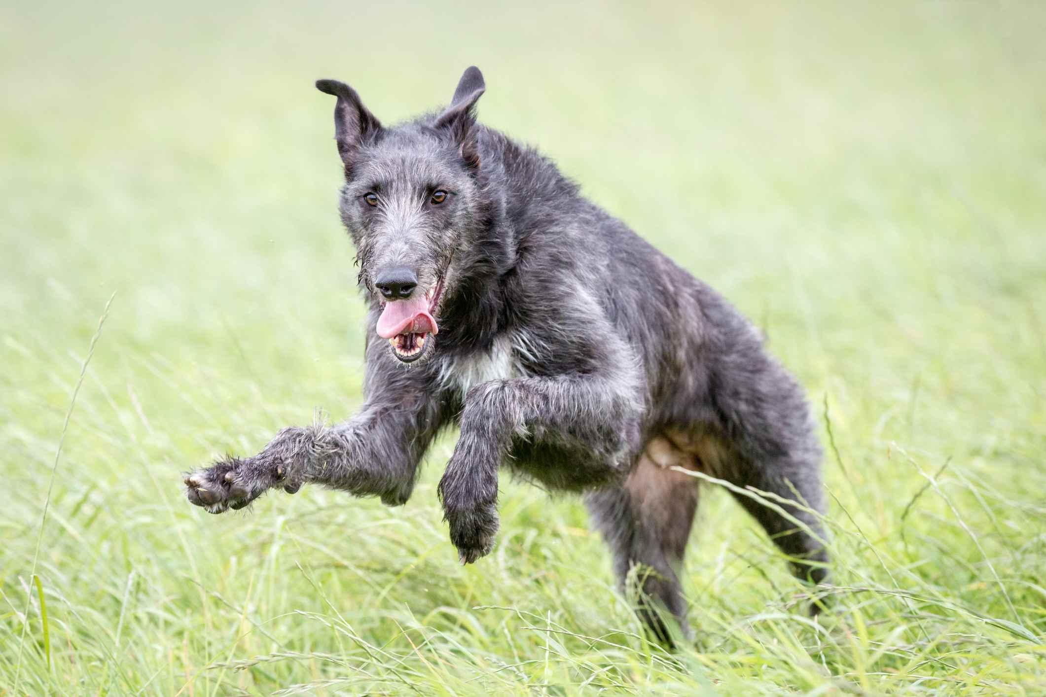 Scottish deerhound playing outside