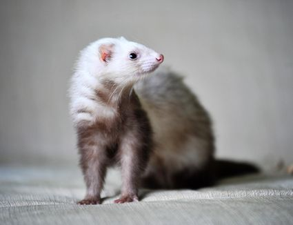 Ferret standing on a cushion.