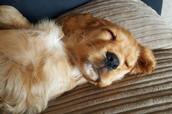 dog sleeping on a pillow