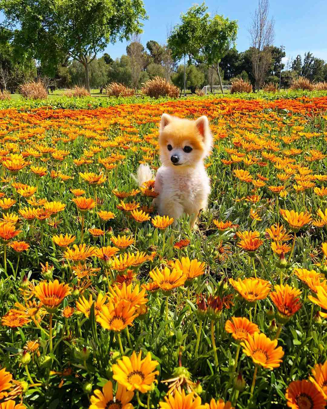 A small, white pomeranian dog standing in a field of bright yellow flowers.
