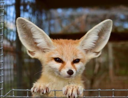 Fennec fox with long pointed ears standing against wired fence