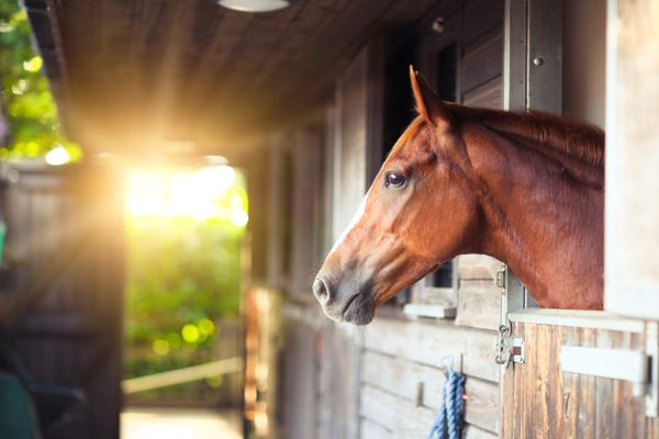 Chestnut horse looking out of stable