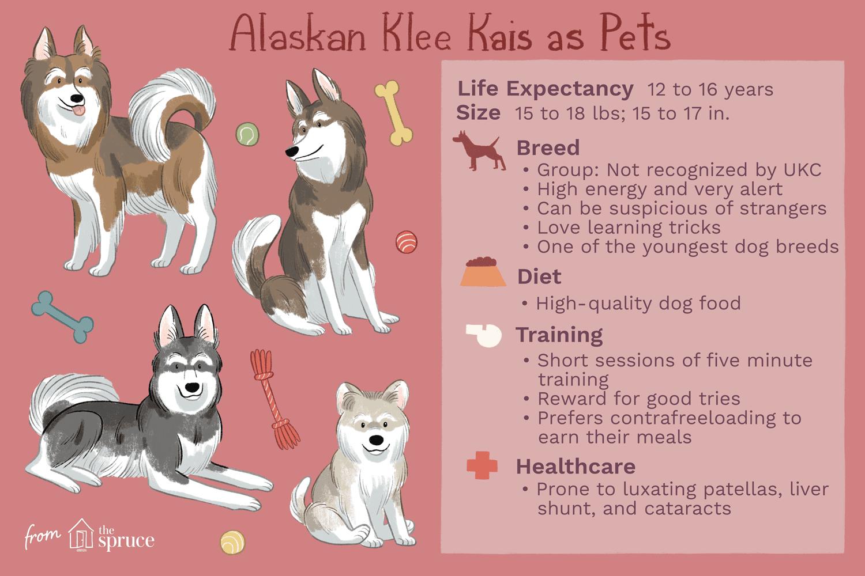 alaskan klee kais as pets illustration