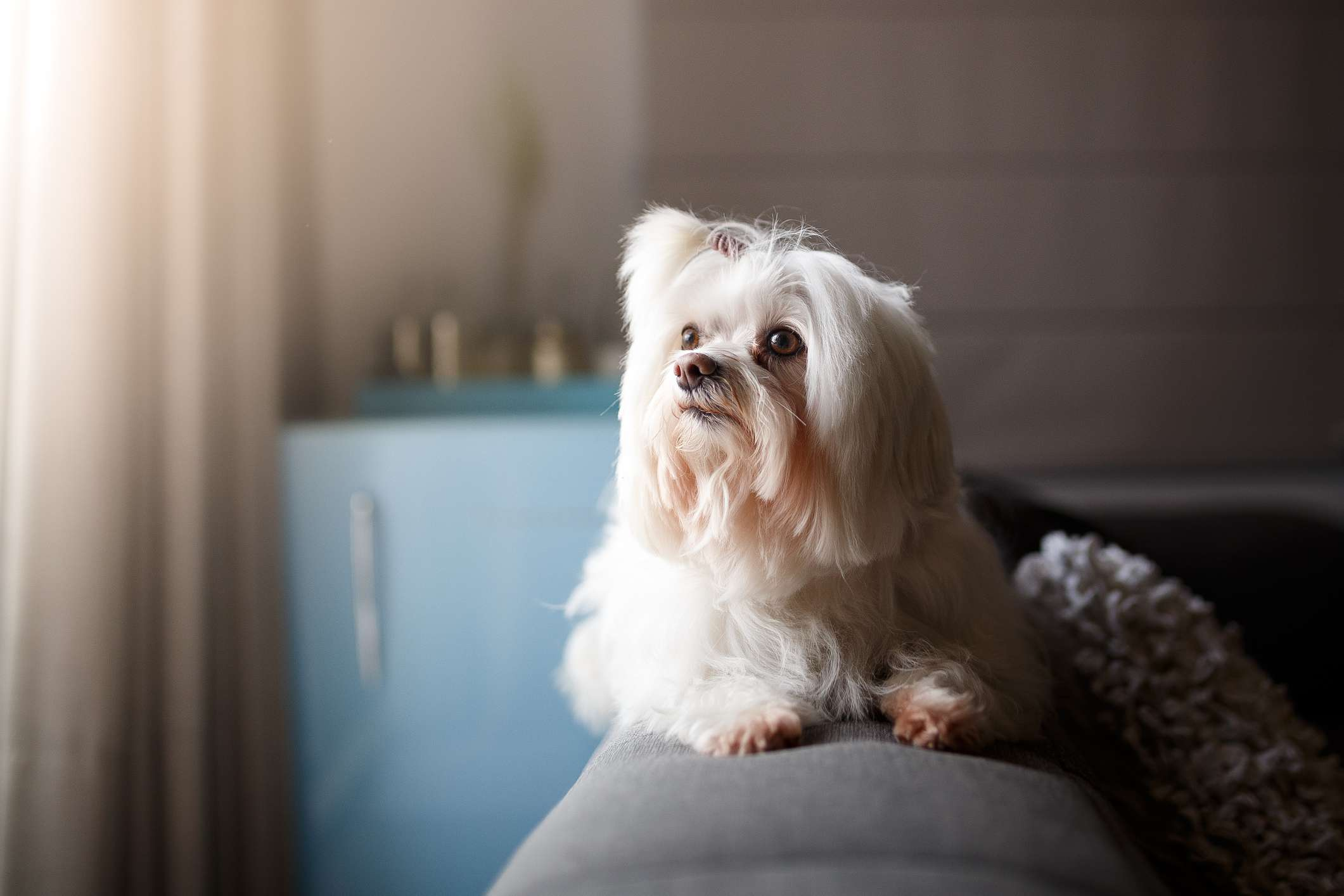 A smaller, white dog with long hair on its face.